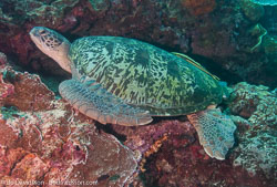 BD-090922-Bunaken-9223673-Eretmochelys-imbricata-(Linnaeus.-1766)-[Hawksbill-turtle.-Karettsköldpadda].jpg
